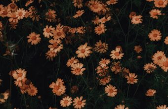 4K Chamomile Flowers Bloom Wallpaper 3840x2160 340x220