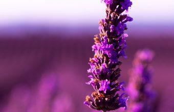 4K Lavender Flower Purple Wallpaper 3840x2160 340x220