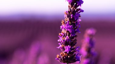 4k Lavender Flower Purple Wallpaper 3840x2160