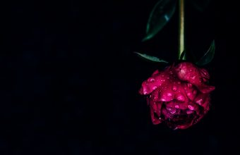 4K Peony Flower Dew Wallpaper 3840x2160 340x220