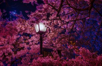 4K Sakura Blossoms Lantern Wallpaper 3840x2160 340x220