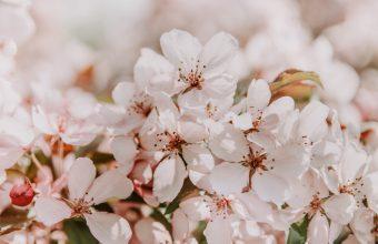 4K Sakura Flowers Spring Wallpaper 3840x2160 340x220