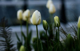 4K Tulips White Flowerbed Wallpaper 3840x2160 340x220