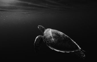 4K Turtle Under Water Swim Wallpaper 3840x2160 340x220