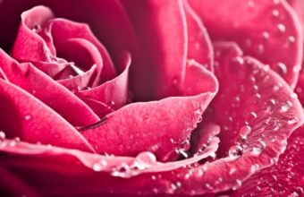 A Beautiful Rose Closeup Wallpaper 2560x1600 340x220