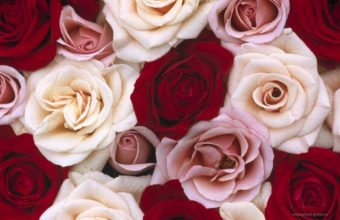 Beautiful Packed Roses Wallpaper 1920x1200 340x220