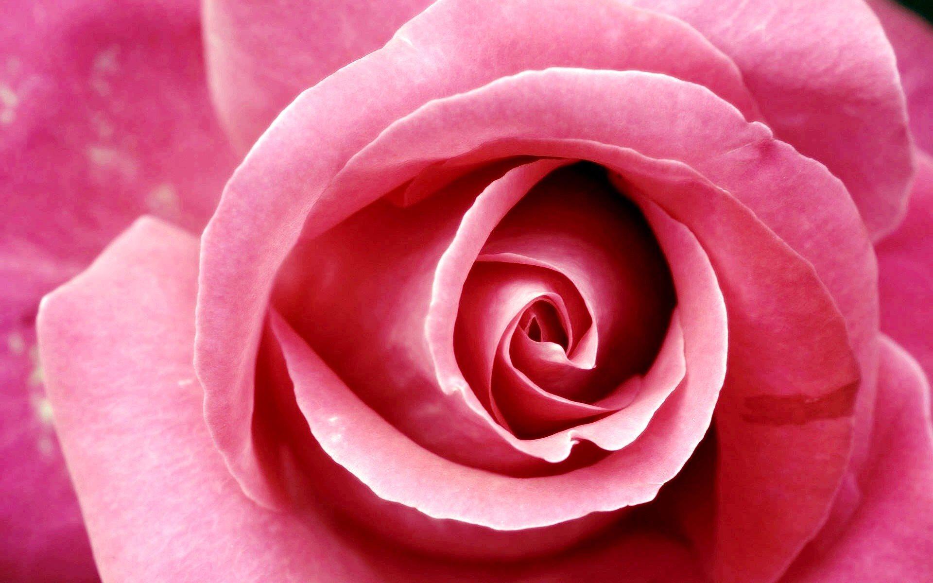 Beautiful Pink Rose Wallpaper 1920x1200