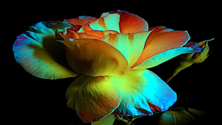 Beauty Of Rose In Light Wallpaper 1920x1080 768x432