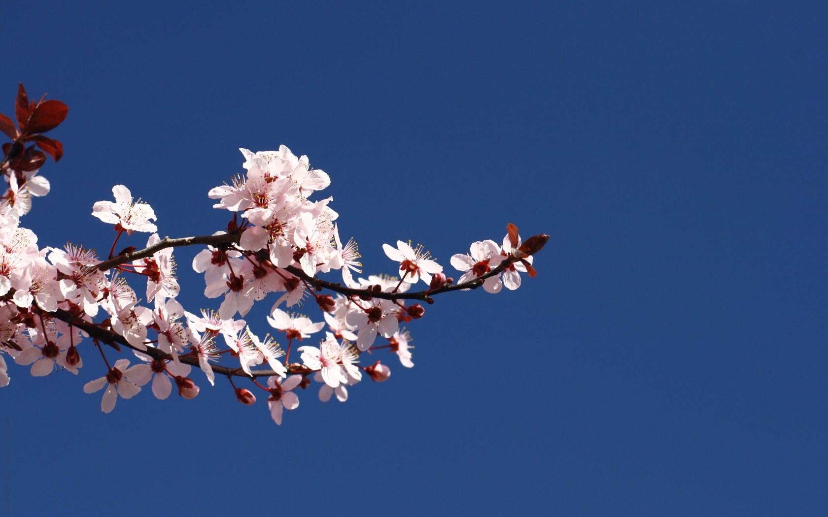 Blossom Branch Spring Wallpaper [1680x1050]