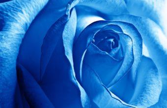Blue Rose Wallpaper 2560x1600 340x220
