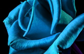Blue Rose iPhone 7 Wallpaper 340x220