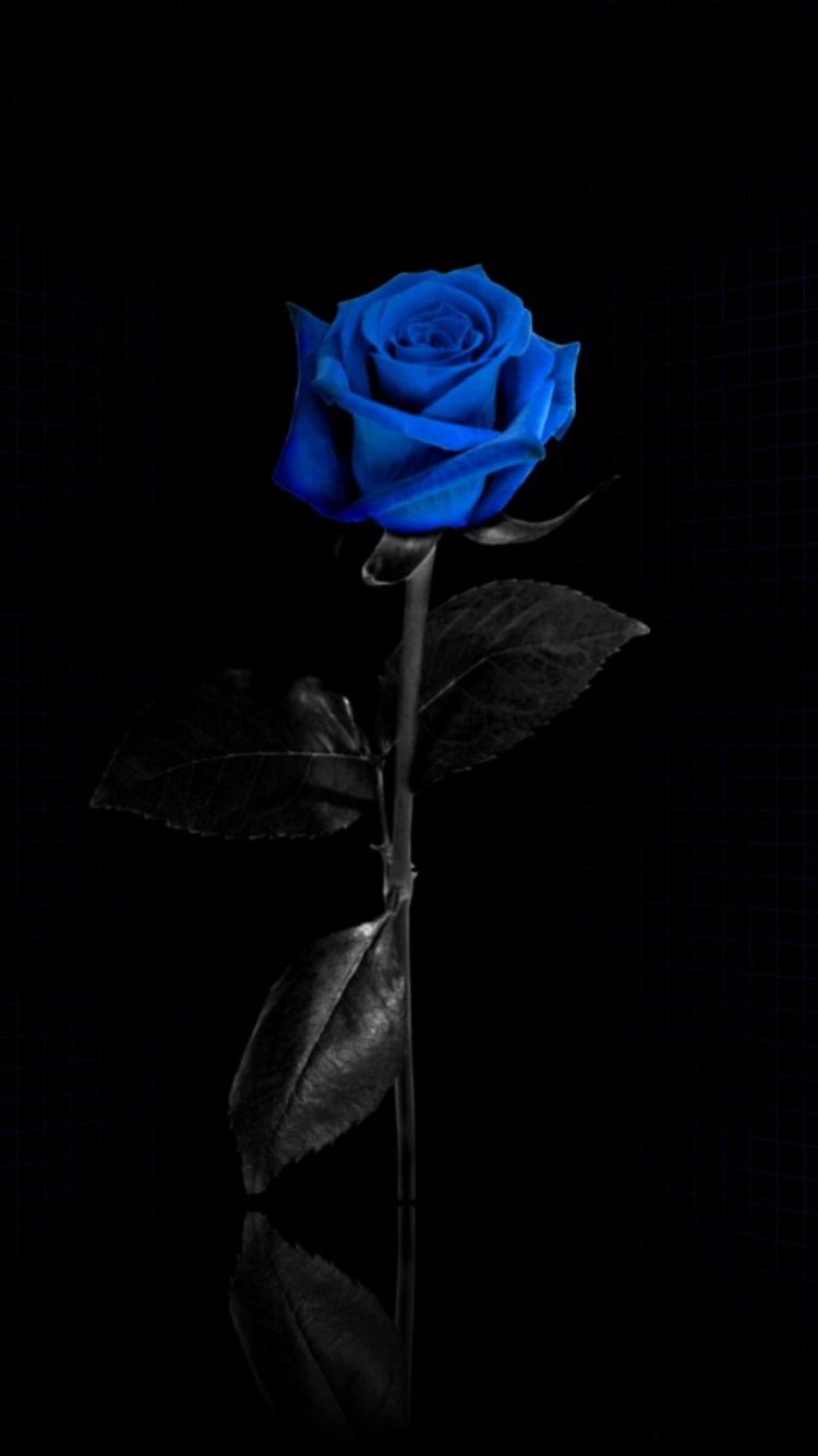 blue rose iphone 7 wallpaper [750x1334]