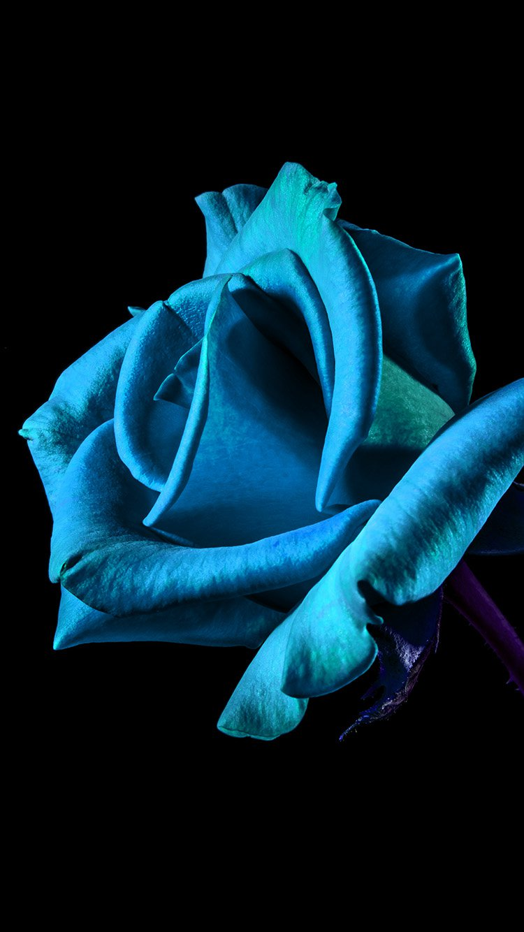 Blue Rose IPhone 7 Wallpaper