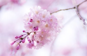 Cherry Branch Flowers Pink Spring Bloom Wallpaper 2560x1695 340x220