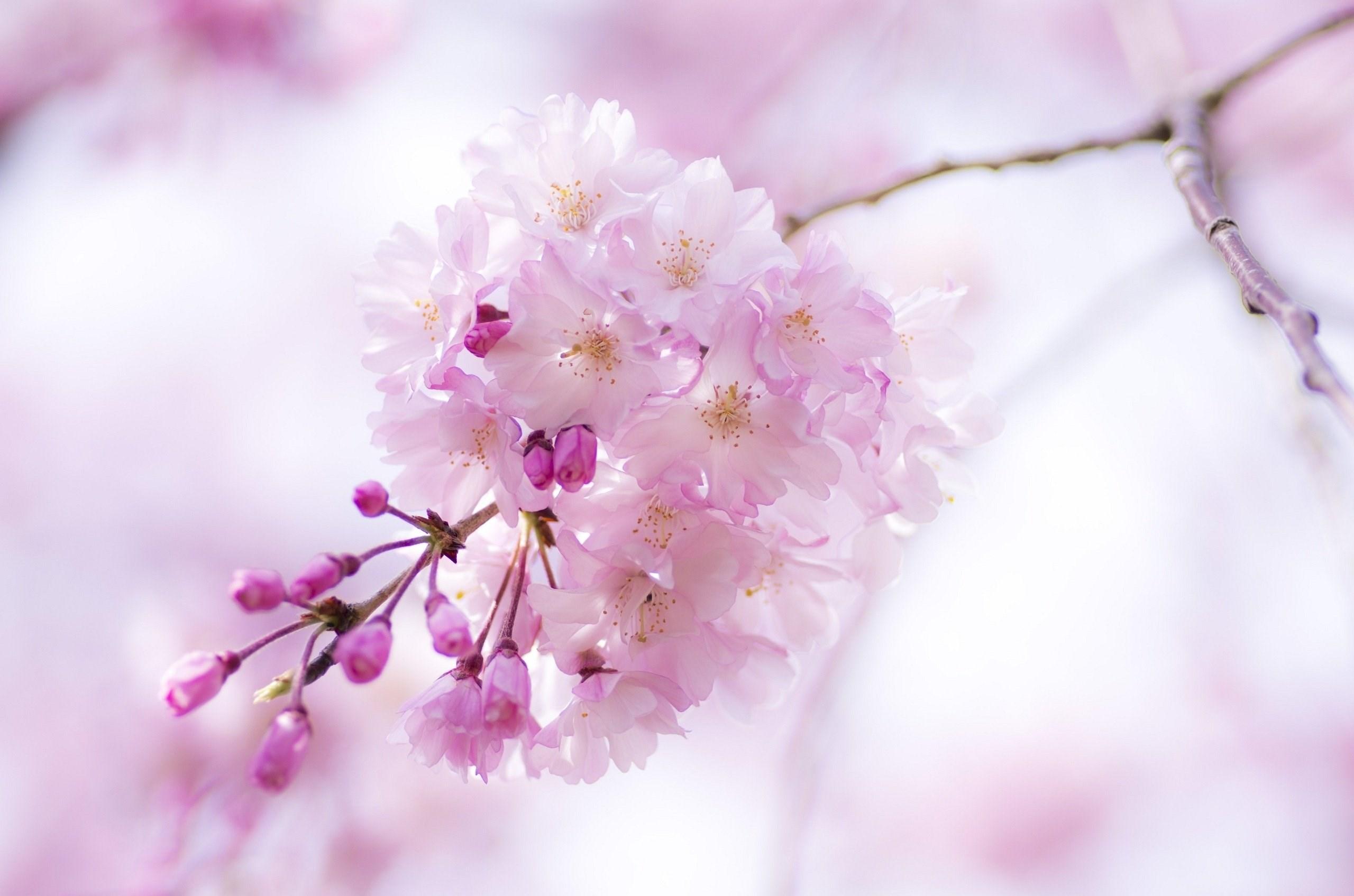 Cherry branch flowers pink spring bloom wallpaper 2560x1695 mightylinksfo