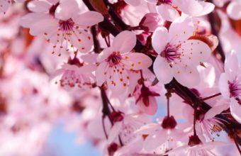 Cherry Flowers Branch Spring Blossom Wallpaper 1920x1200 340x220
