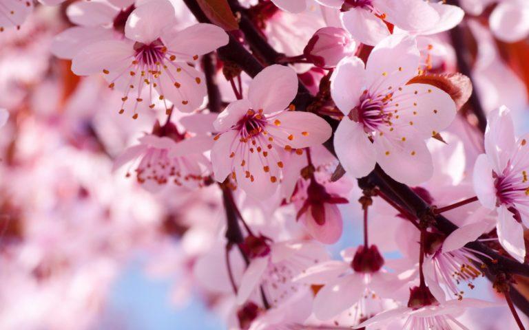 Cherry Flowers Branch Spring Blossom Wallpaper 1920x1200 768x480