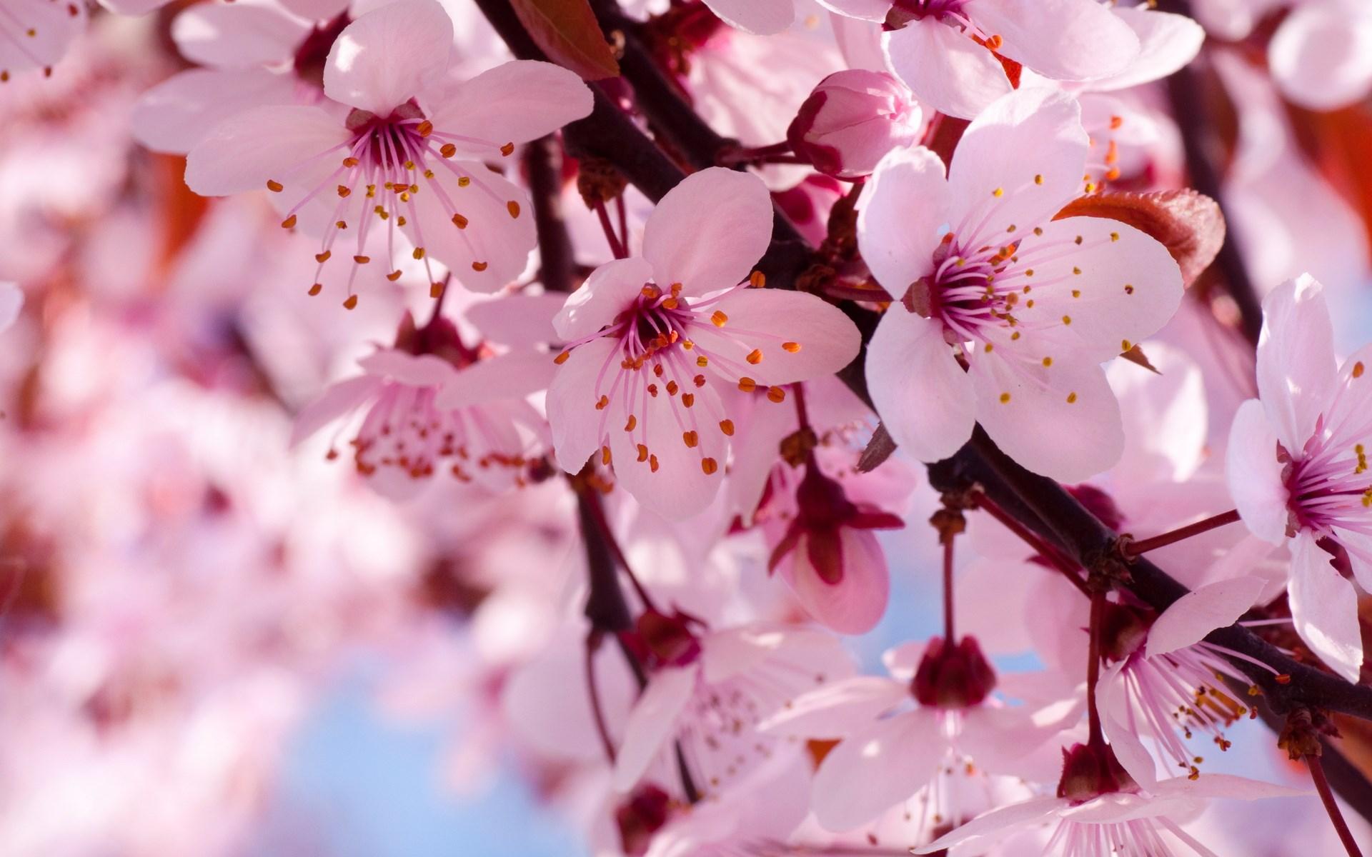 вишня цветение  № 2767182 загрузить