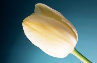 Cream Tulip Wide Wallpaper 2560x1600 340x220