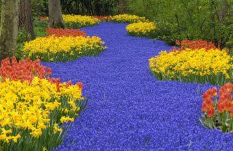 Daffodils Tulips Muscari Wallpaper 1440x810 340x220