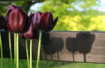 Dark Tulips Wallpaper 1920x1200 340x220