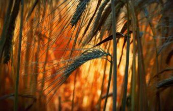 Ears Bright Close Up Field Grass Wallpaper 2000x1339 340x220