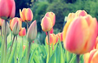 Easter Tulips Wallpaper 2560x1600 340x220