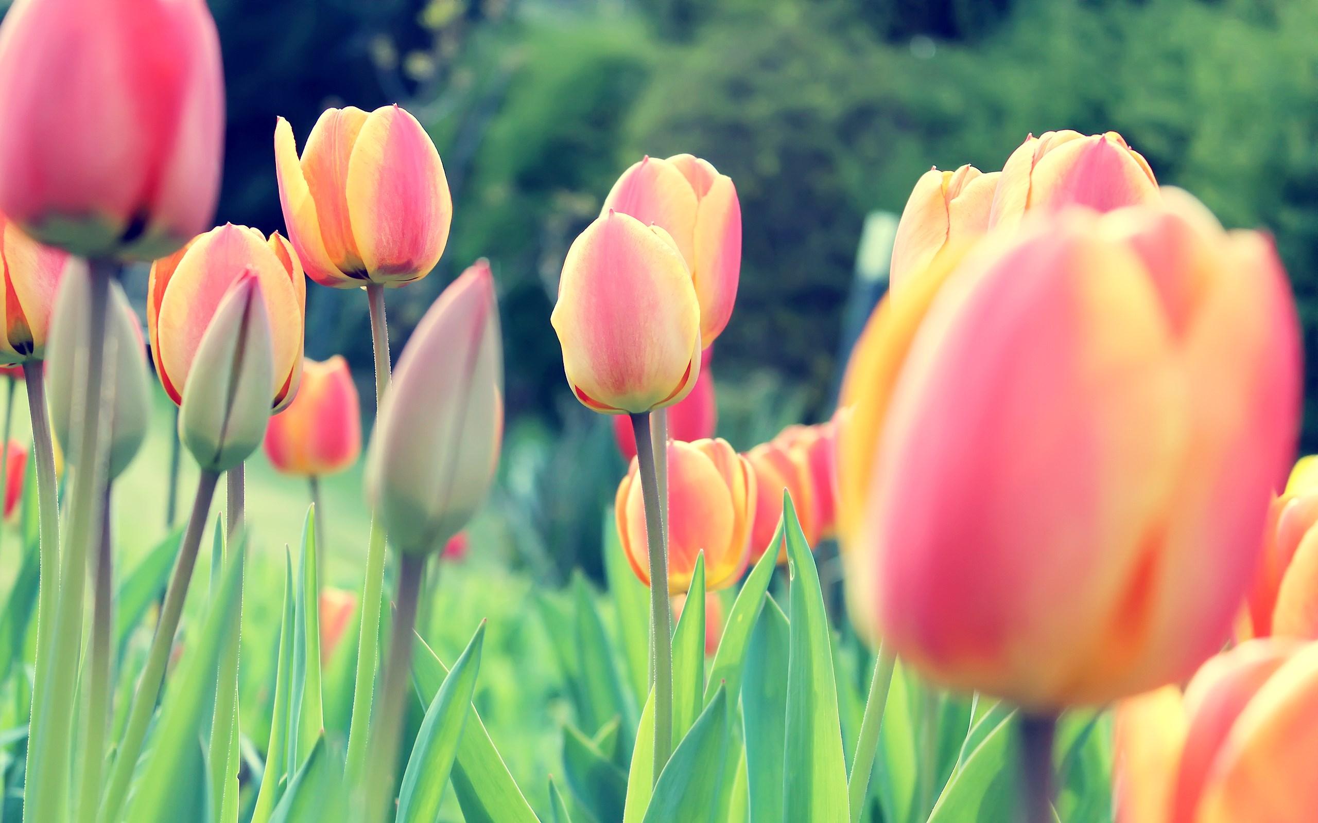 Easter Tulips Wallpaper 2560x1600