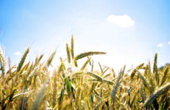 Field Wheat Ear Ears Sky Clouds Wallpaper 1920x1200 340x220