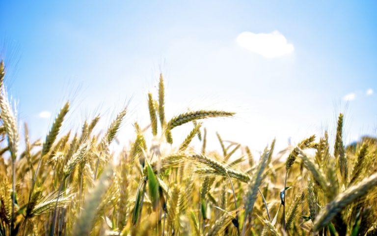 Field Wheat Ear Ears Sky Clouds Wallpaper 1920x1200 768x480
