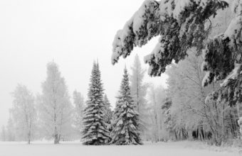 Fir Trees Snow Winter Wallpaper 1440x900 340x220