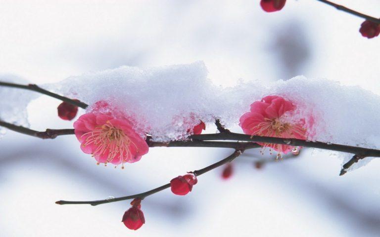 Flower Plant Pink Wallpaper 1440x900 768x480