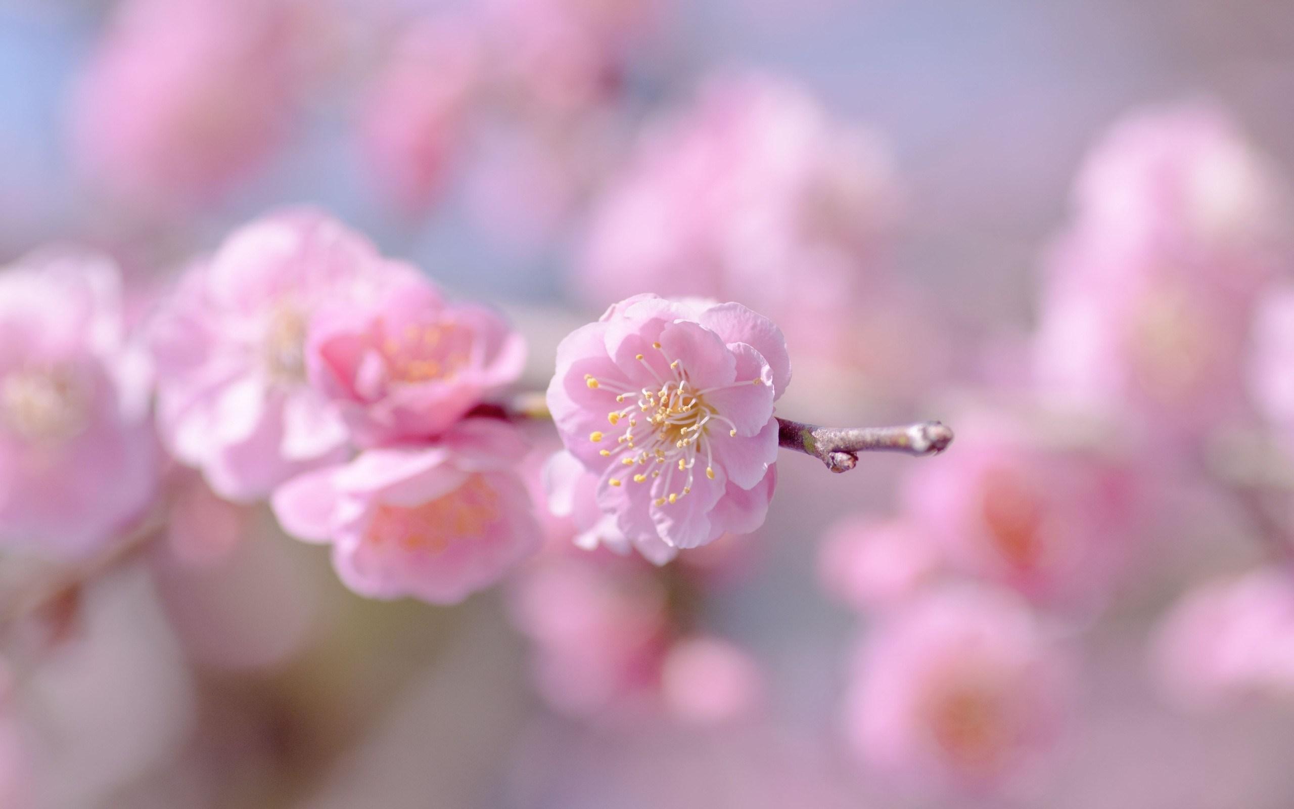 цветение весна розовые цветы бесплатно