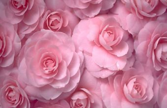 Flowers Roses Pink Flowers Wallpaper 1600x1200 340x220