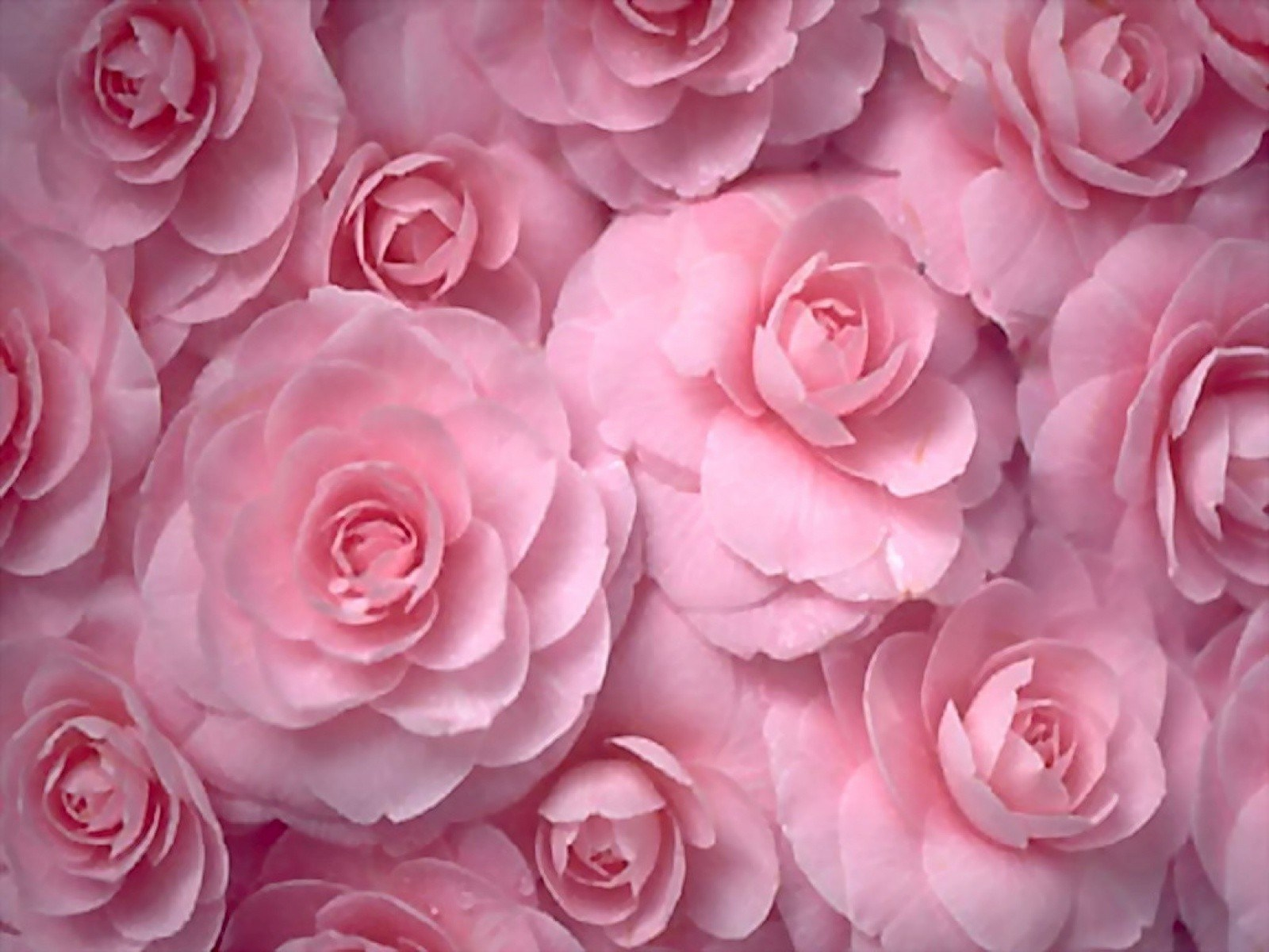 Flowers Roses Pink Flowers Wallpaper 1600x1200