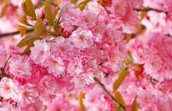 Flowers Sakura Spring Pink Blossoms Wallpaper 2560x1600 340x220