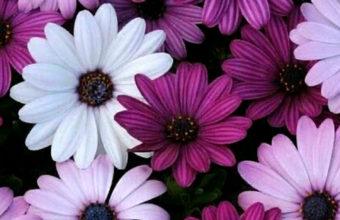 Flowers iPhone 7 Wallpaper 750x1334 340x220