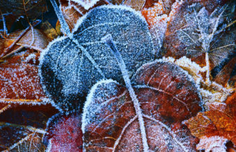 Frosty Autumn Leaves Wallpaper 2560x1600 340x220