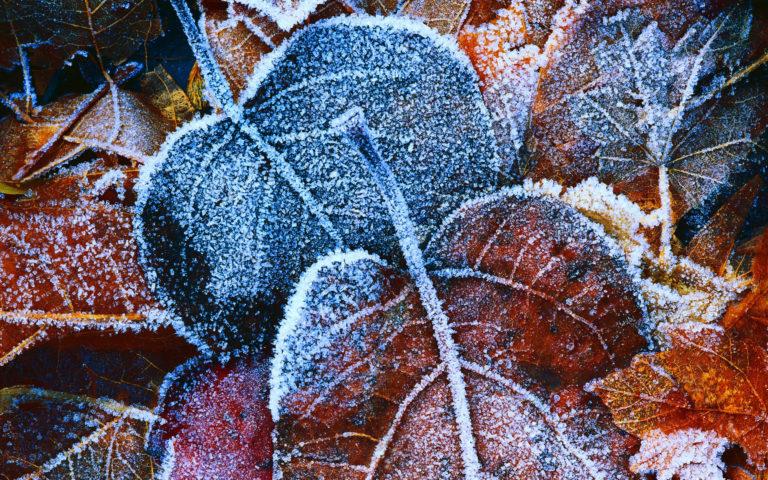 Frosty Autumn Leaves Wallpaper 2560x1600 768x480