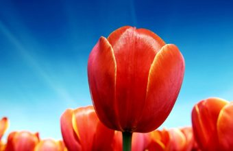 Growing Tulips Wallpaper 1920x1200 340x220