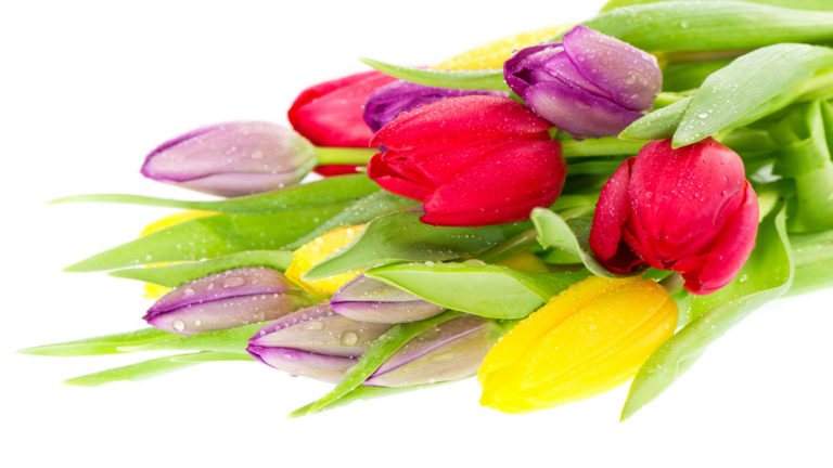 Holiday Female Tulips Wallpaper 3840x2160 768x432
