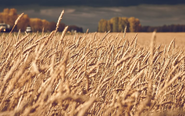Landscapes Nature Fields Wheat Wallpaper 2560x1600 768x480