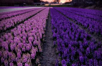 Lavender iPhone 7 Wallpaper 750x1334 340x220