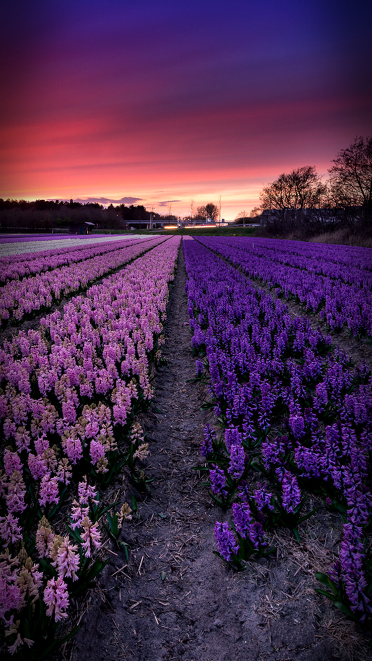 Lavender-iPhone-7-Wallpaper-750x1334.jpg