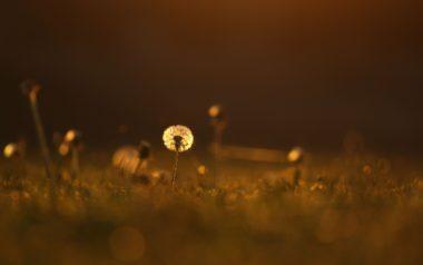 Light Color Grass Dandelion Meadow Wallpaper 2560x1600
