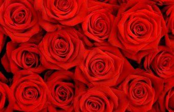 Lovely Roses HQ Wallpaper 2560x1600 340x220