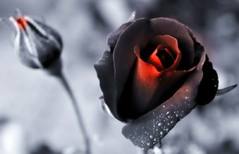 Nature Black Flowers Roses Color Wallpaper 1600x1200 340x220