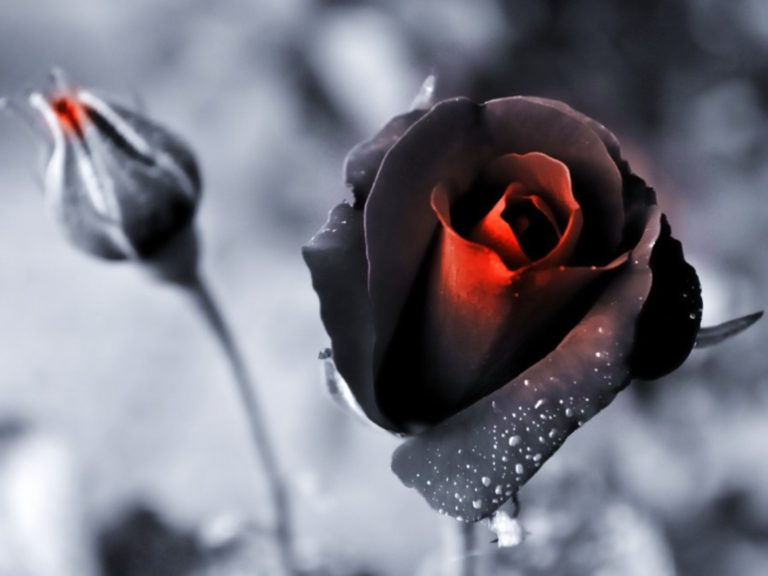 Nature Black Flowers Roses Color Wallpaper 1600x1200 768x576