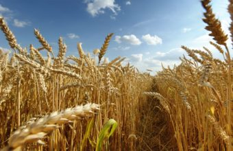Nature Fields Wheat Grain Wallpaper 2560x1600 340x220