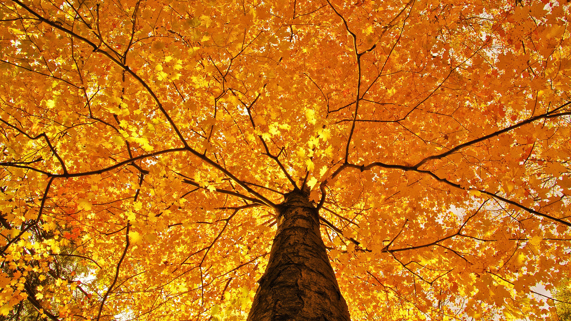Nature Trees Leaves Color Yellow Autumn Wallpaper 1920x1080